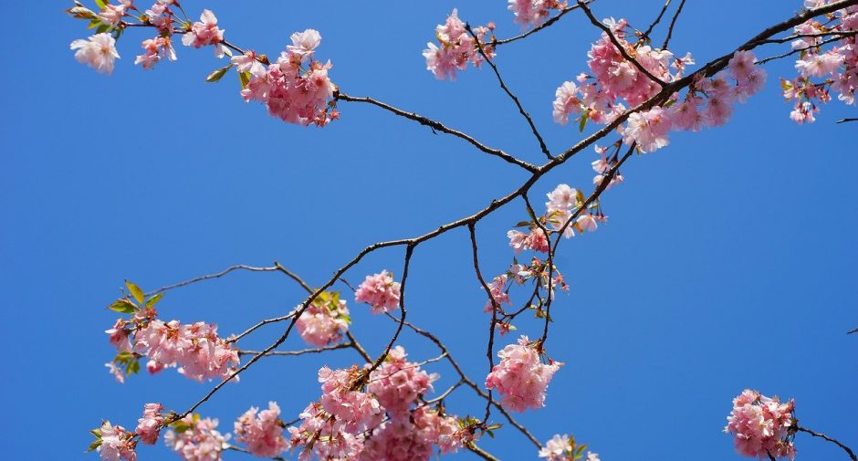99 cherry trees planted in Stockport to celebrate UK-Japan relations